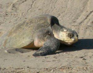 Reta's turtle